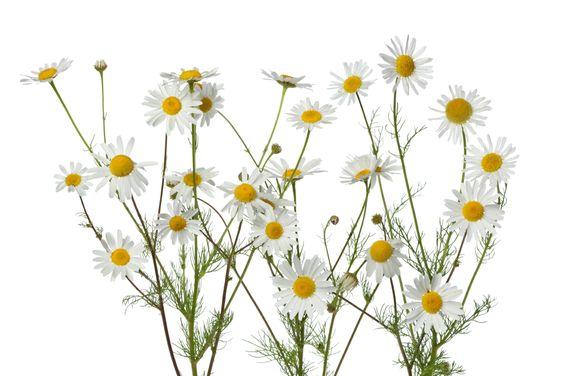 Chamomile flowers on white background